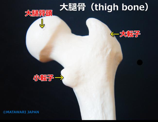 深部感覚 股関節 hip joint 位置、筋肉、靭帯など解剖学と運動学の説明 トップページ >